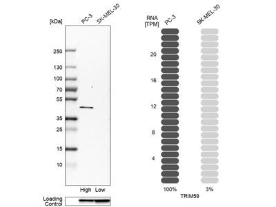 Anti-TRIM59 Antibody