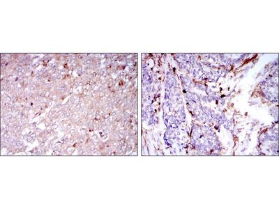 CD133 antibody