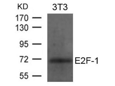 E2F-1 antibody