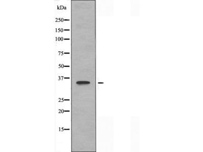 OR3A2 antibody