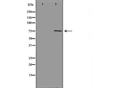 NEK8 antibody