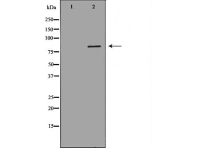 JUP antibody