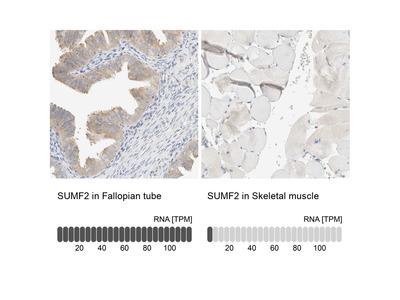 Anti-SUMF2 Antibody