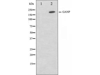 GANP antibody