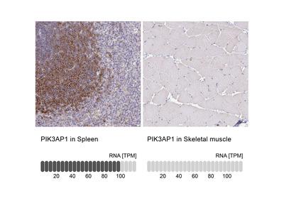 Anti-PIK3AP1 Antibody