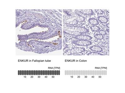 Anti-ENKUR Antibody