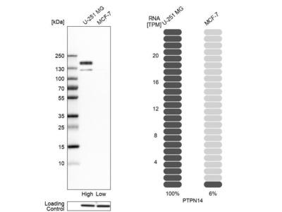 Anti-PTPN14 Antibody