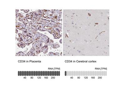Anti-CD34