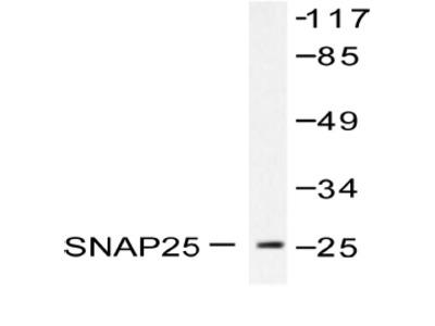 anti SNAP25