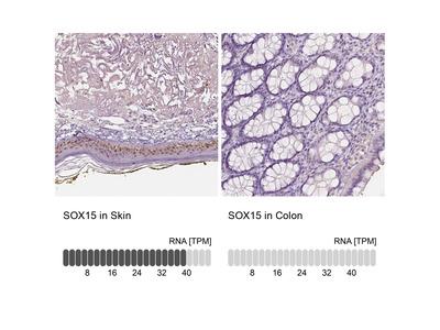 Anti-SOX15 Antibody