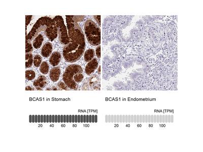 Anti-BCAS1 Antibody