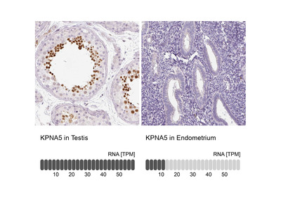 Anti-KPNA5 Antibody