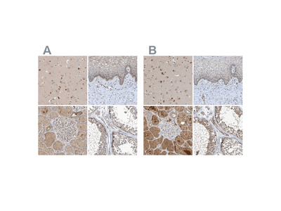 Anti-SCFD2 Antibody