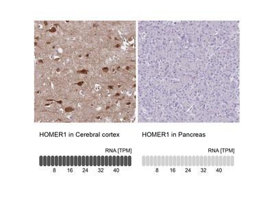 Anti-HOMER1 Antibody