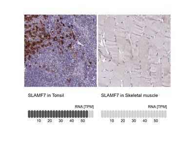 Anti-SLAMF7 Antibody