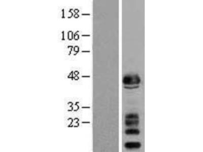 alpha-Sarcoglycan Overexpression Lysate