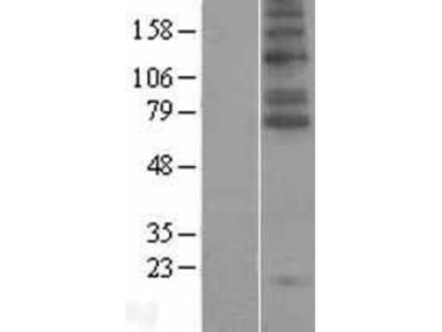 GlyT2/SLC6A5 Overexpression Lysate