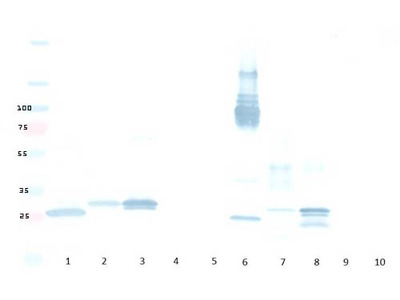 Anti-mCherry Antibody