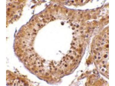 RGPD5 Antibody