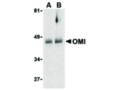 OMI Antibody