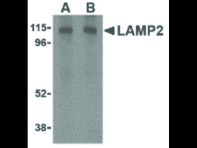 LAMP-2 Antibody