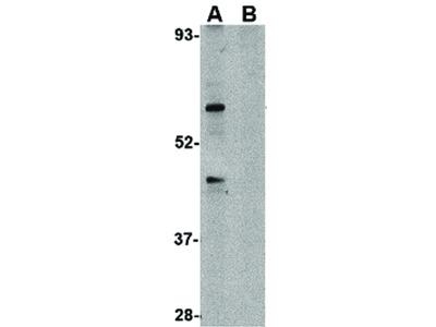 TRIM25 Antibody