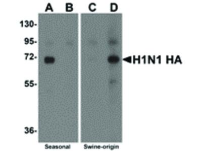 Swine H1N1 Hemagglutinin Antibody