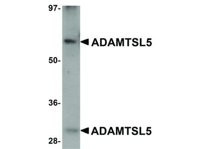 ADAMTSL5 Antibody