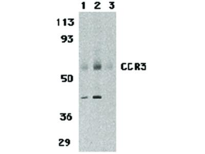 CCR3 Antibody