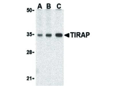 Bcl-B Antibody