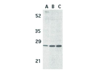 BCMA Antibody