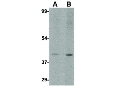 Slc35D1 Antibody