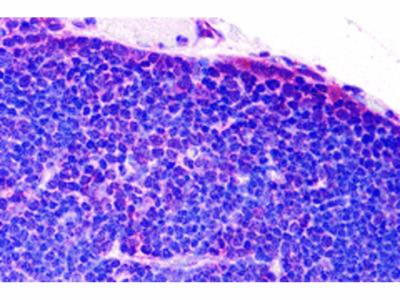 TLR8 Antibody