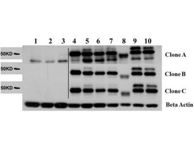 AKT2 Control Peptide