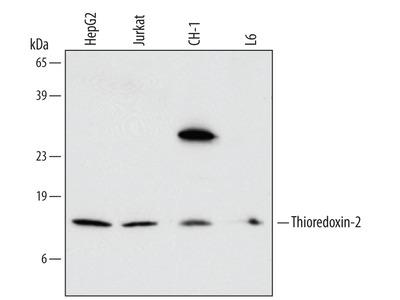 Thioredoxin-2 Antibody