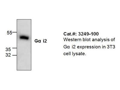 Gai2 Antibody