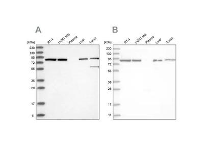 Mitofilin Antibody