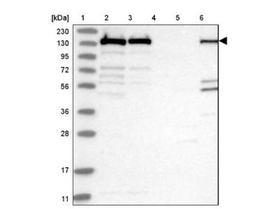 PLC-gamma 1 Antibody