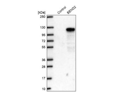 BEND2 Antibody