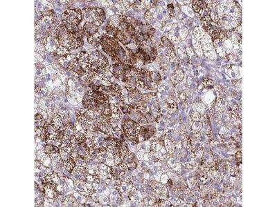 BPIL2 Antibody