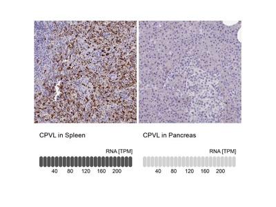 CPVL Antibody