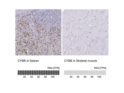 CYBB / NOX2 Antibody