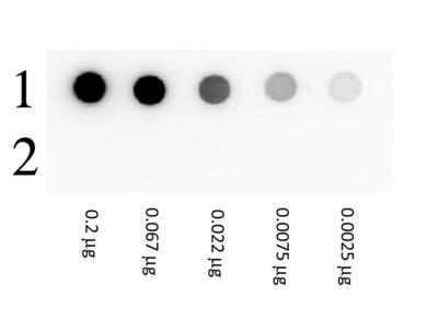 Biotin Beta Galactosidase Conjugated