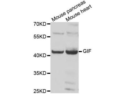 GIF Polyclonal Antibody