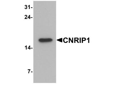 CNRIP1 Antibody