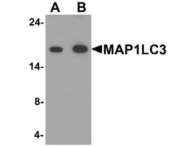MAP1LC3 Antibody