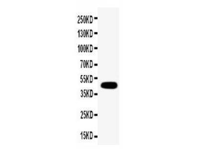 Anti-Connexin 45/GJA7 antibody
