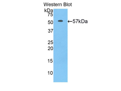 Polyclonal Antibody to CUB And Zona Pellucida Like Domains Protein 1 (CUZD1)