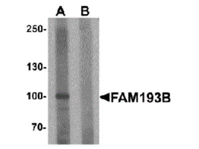 FAM193B Peptide