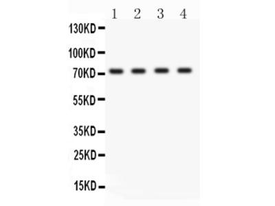 Anti-BCRP/ABCG2 Picoband Antibody